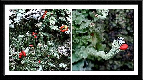 soldier lichens