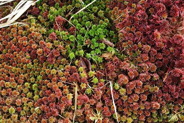 Bessie's Hill moss