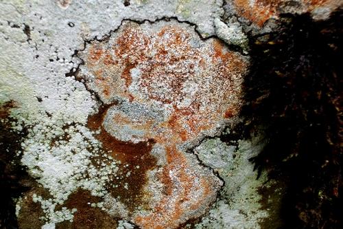 Park lichen