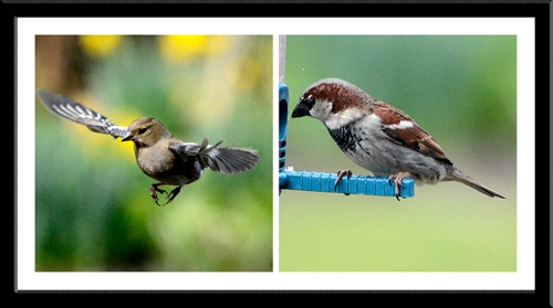 chaffinch and sparrow