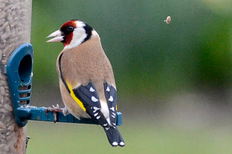 goldfinch and seed