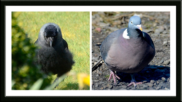 jackdaw and pigeon