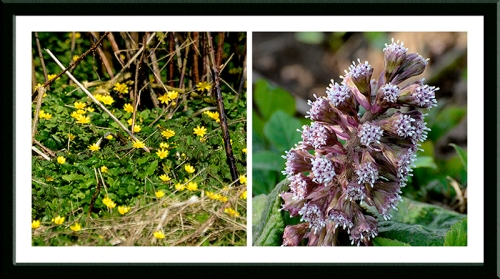 celandine and butterbur