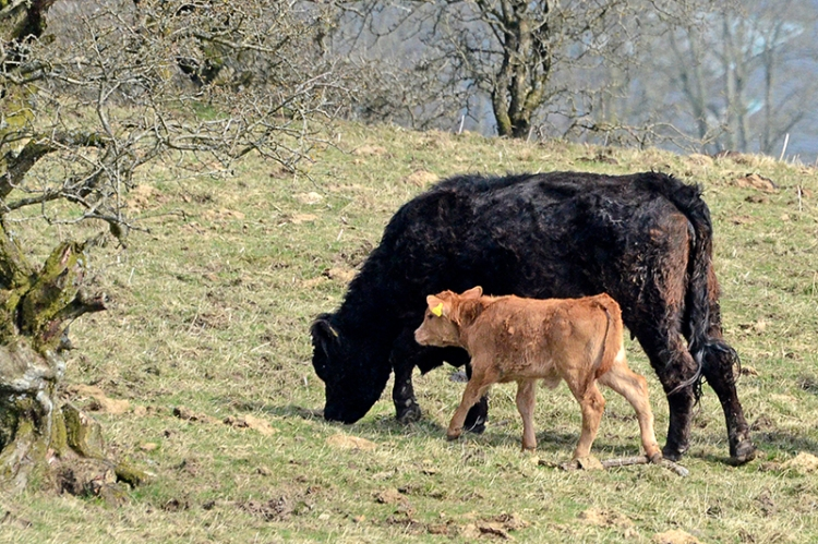 Hill cattle