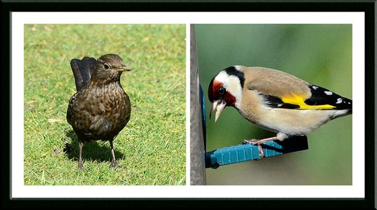 blackbird and goldfinch