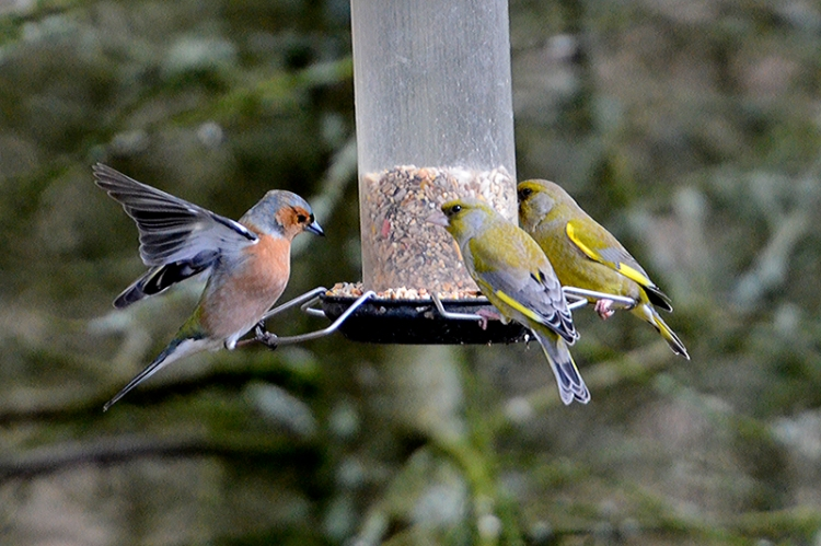 greenfinches and chaffinch