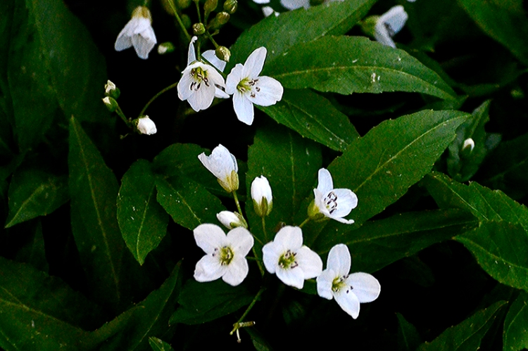 Ladies' Smock or cardamine