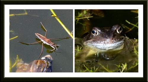 pond skater and frog
