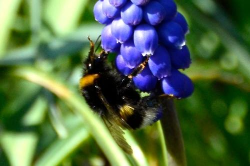 bees on hyacinths
