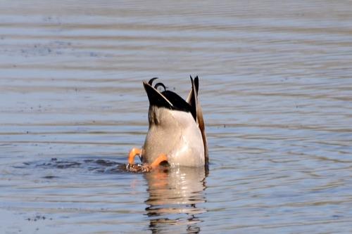 duck diver
