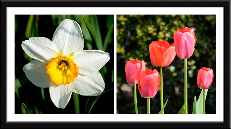 daffodils and tulips