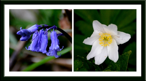 bluebell and anemone