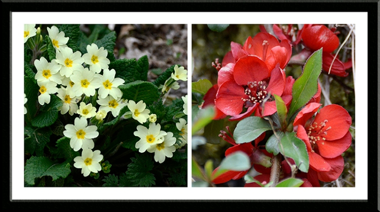 primrose and red flower