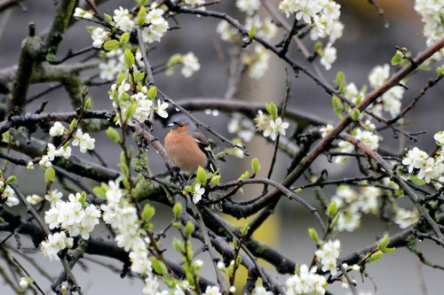 plum tree with chaffinch