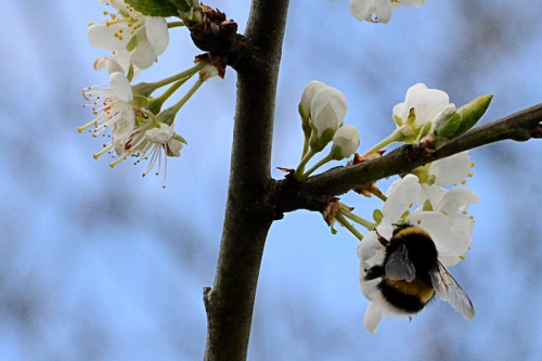 bees and plum blossom
