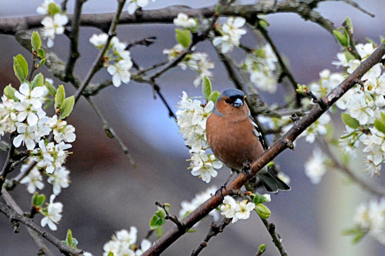 chaffinch and plum tree
