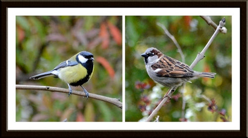 great tit sparrow