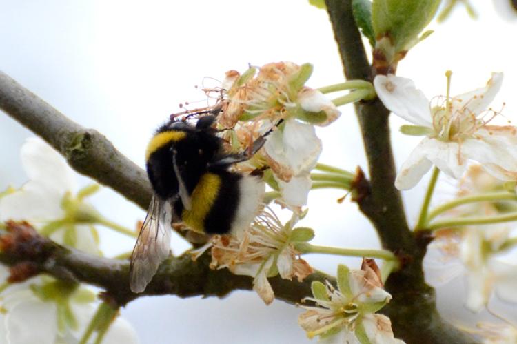 bee in plum tree