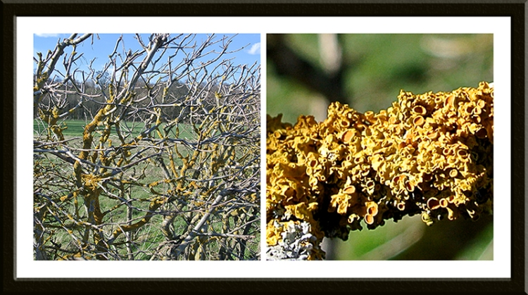 lichen on hedge