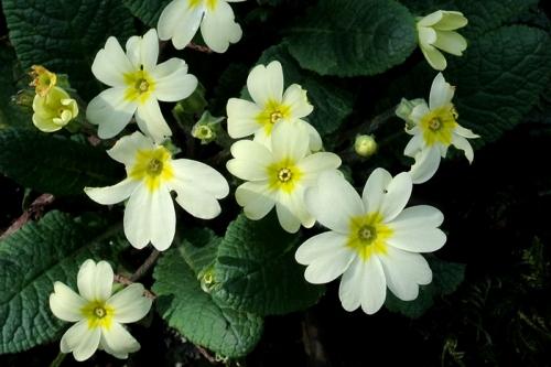 primroses