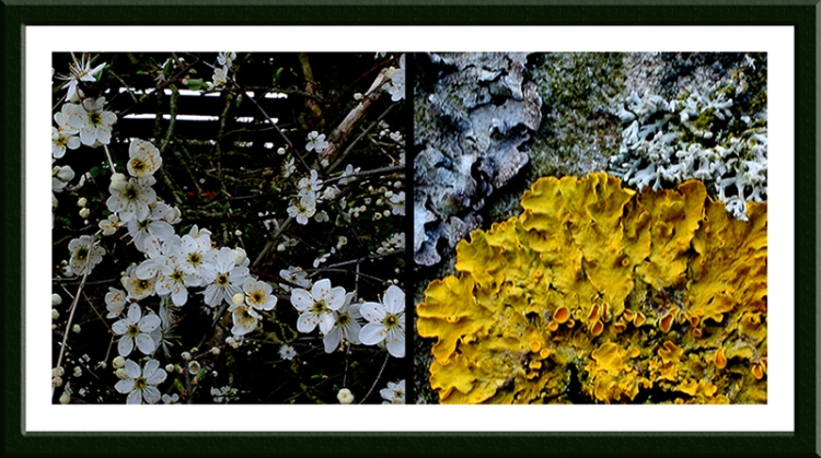 blackthorn and lichen