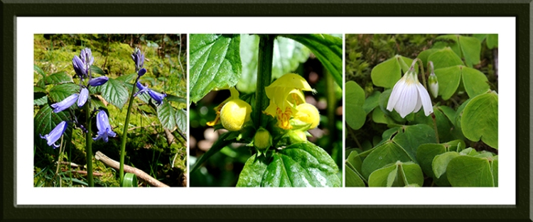 bluebell, nettle and oxalis