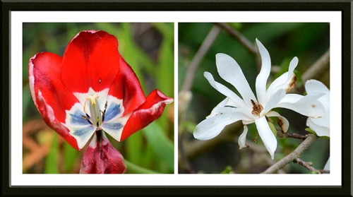 tulip and magnolia