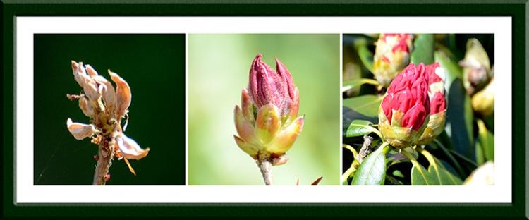 azalea and rhodie