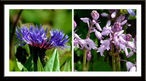 cornflower and pinkbell