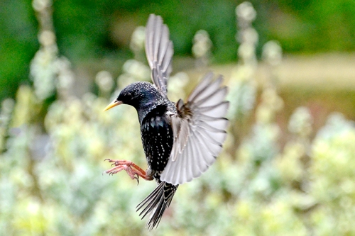 flying starling