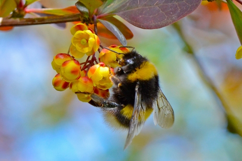 berberis with bee