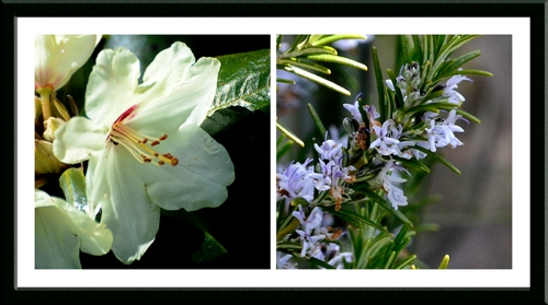 rhododendron and rosemary