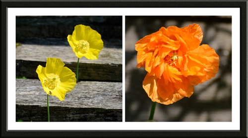 The Welsh poppies are growing through the slats of a bench.  The Icelandic poppy is the first of the year.