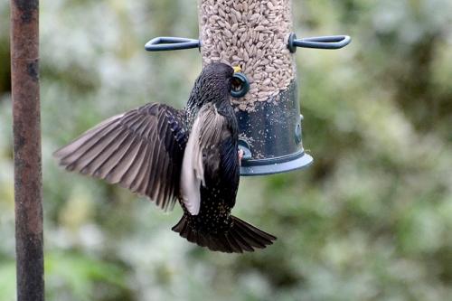starling on feeder