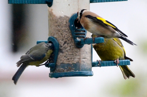 greenfinch, goldfinch and blue tit