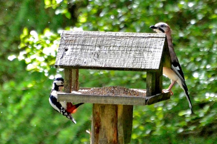 jay and woodpecker