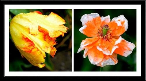 tulip and poppy