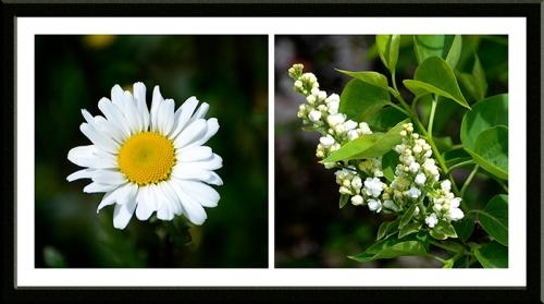 daisy and lilac