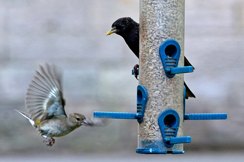 starling and chaffinch