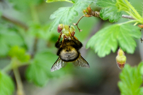 gooseberry with bee