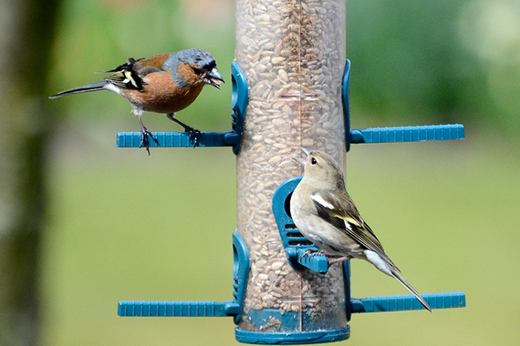 chaffinches