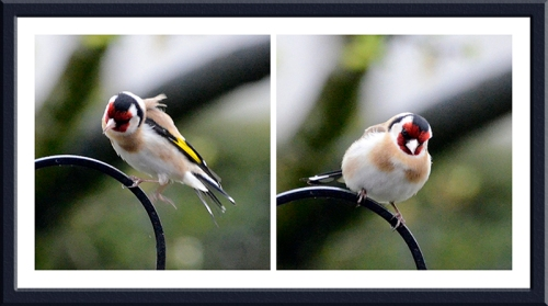 A goldfinch landing and settling on the feeder stand.