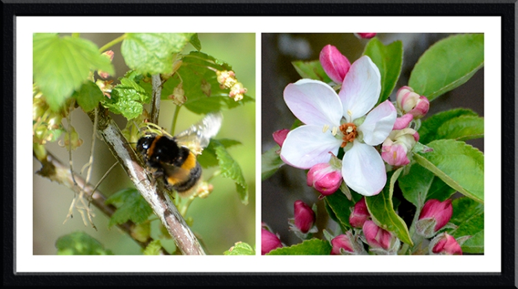 bee and apple