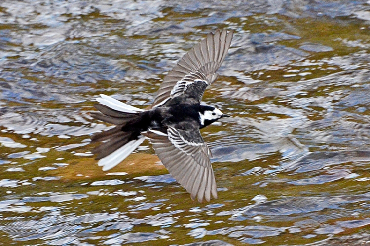 flying wagtail