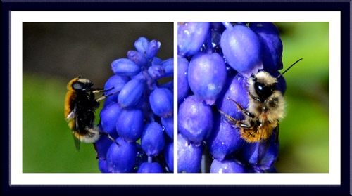 hyacinths  and bees
