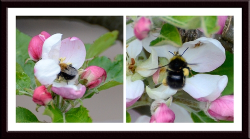 apple blossom with bees