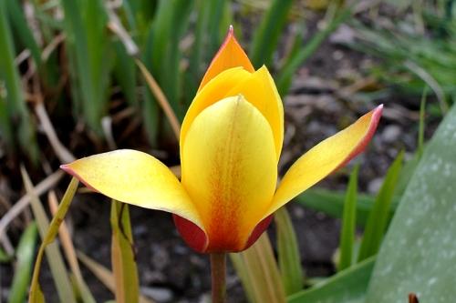 Miniature tulip