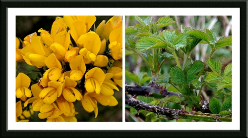 gorse and bramble