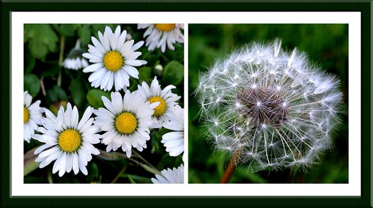 feverfew and dandelion