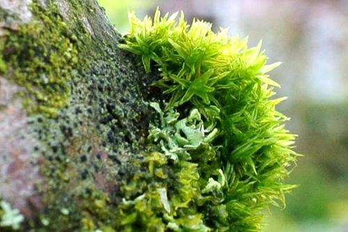 garden moss